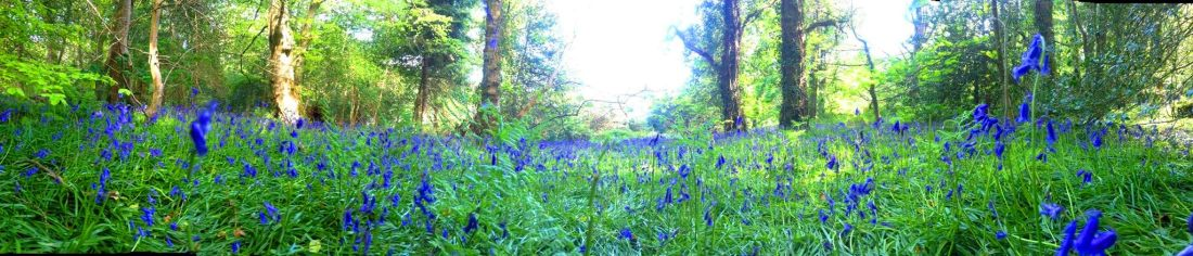 Ballaglass Bluebells 1